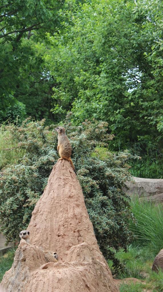 Erdmännchen - Zoo Leipzig