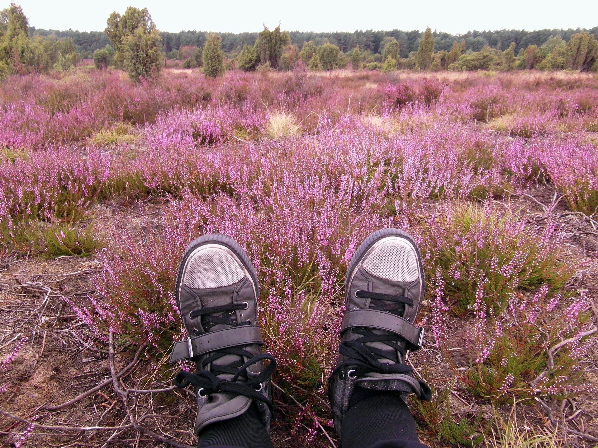 Purpur und Vielfalt – Heideblüte im Upland